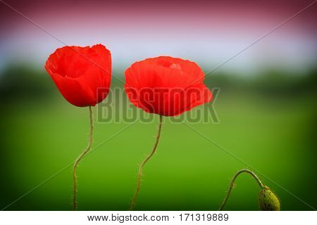 bright red corn poppy flowers in summer