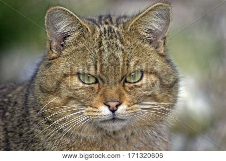 Head of European Wildcat portrait close up