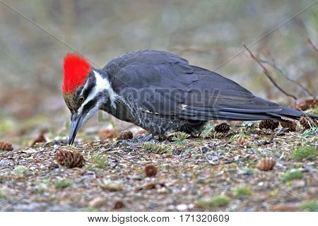 Pileated Woodpecker on forest ground feeding on ants