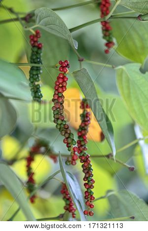 fresh green and red peppercorns with leaf isolated on branch.