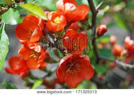 Beautiful Chaenomeles Japonica Flower