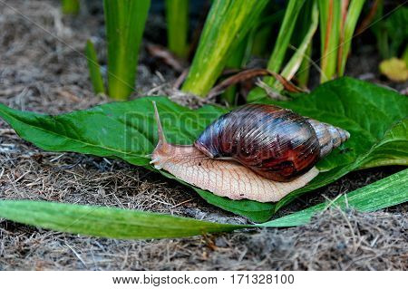 Giant snail. This snail - Achatina African has long been a favorite pet to human. An unpretentious and peaceful establishment.