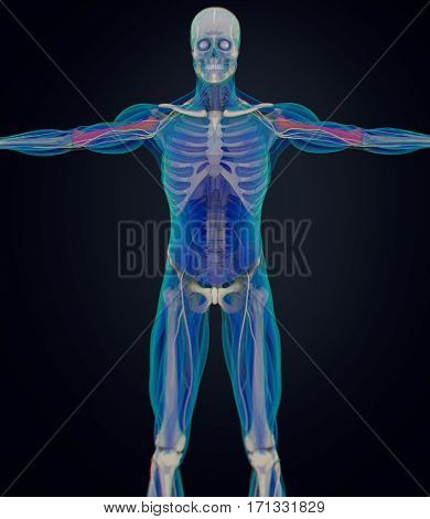 Humerus bone, human anatomy, skeletal system. 3D Illustration.