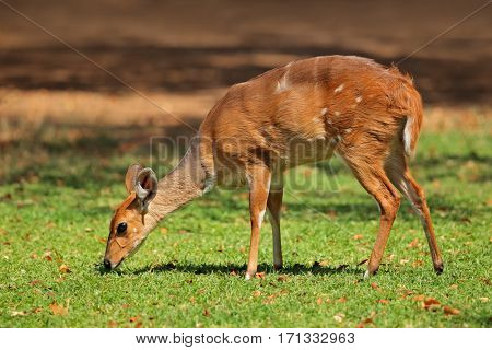 Female nyala antelope (Tragelaphus angasii), Kruger National Park, South Africa