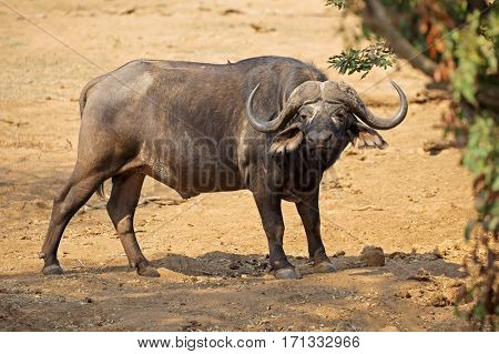 African buffalo (Syncerus caffer) in natural habitat, Kruger National Park, South Africa