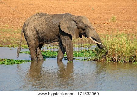 Large African bull elephant (Loxodonta africana) feeding in a river, Kruger National Park, South Africa
