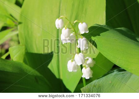 Lily of the valley (convallaria majalis) on spring