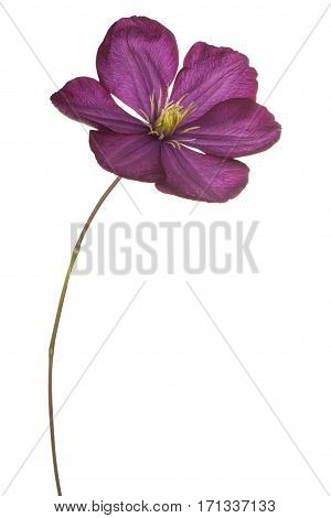 Clematis Flower Isolated