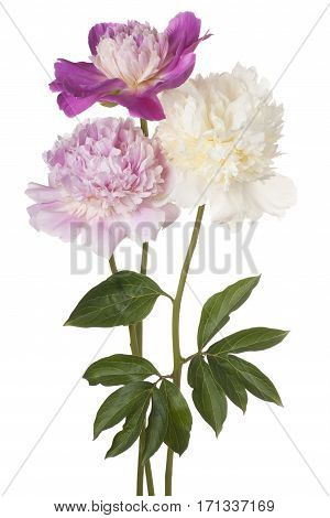 Peony Flower Isolated
