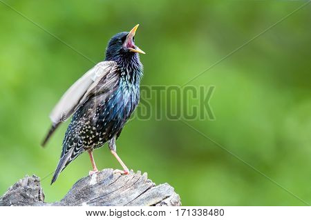 Common starling perching on tree stump and singing