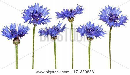 Set of cornflowers isolated on white. Blue flowers