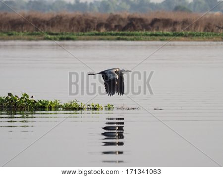 Bird Flying Over The Swamp, Bueng Boraphet, Nakhon Sawan Province In Thailand