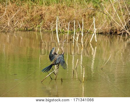 Bird Standing On Stick In The Swamp, Bueng Boraphet, Nakhon Sawan Province In Thailand