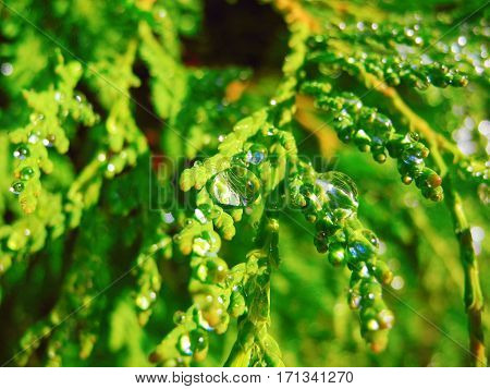 Drops of morning dew on the branches arborvitae.