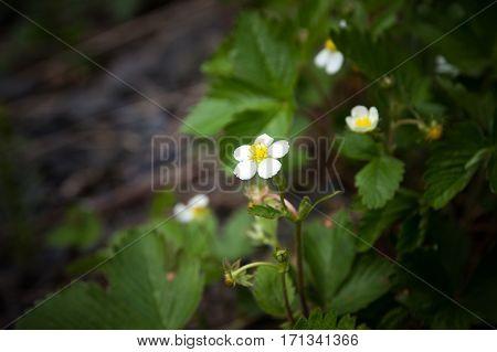 strawberry blossom close-up. strawberry flower. spring time