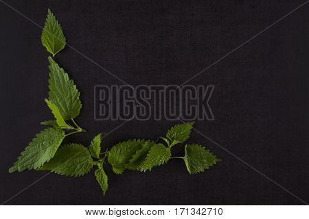 Fresh stinging nettle on black background top view. Alternative herbal remedy.