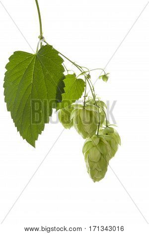 Hop plant isolated on white background. Natural background.