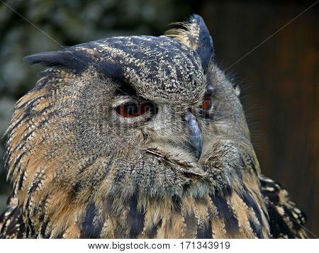 Great Owls face portrait. Winking owl.Owl eye
