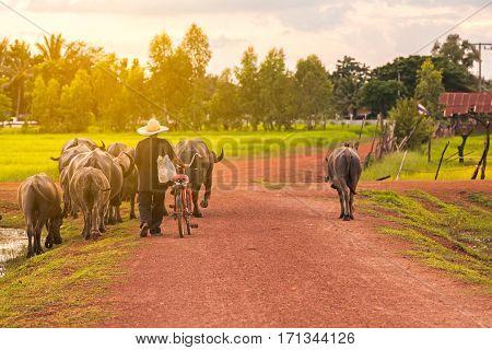 Thai farmer bring buffalo back home cross the dirt road near lake