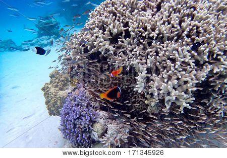 fish coral and clownfish in okinawa island