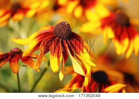 Bright yellow flowers. Echinacea in a garden. Sunny summer day. Shallow depth of field. Selective focus.