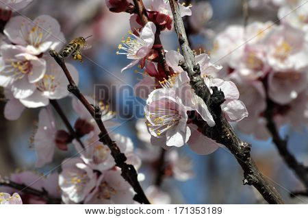 Bee pollinating blooming trees, Trees in full bloom in spring
