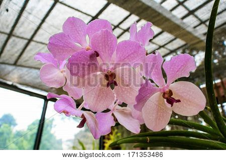 Beautiful lush pink and white orchid flower blooming in tropical climat