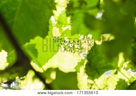 flower buds and leaves of shoots grapevine spring agriculture nature background