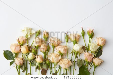 white roses isolated