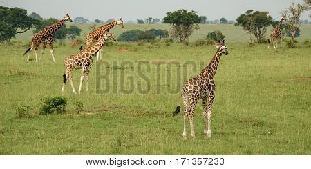 Panorama of group of giraffes in Murchison Park, Uganda