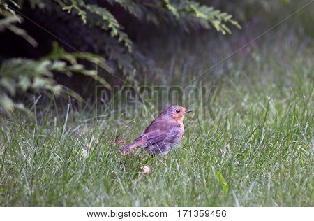 bird robin among the grass in the forest