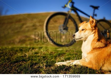 sitting red dog and mountain bicycle with greenfield background. Countryside. Animals. Blue sky and hill. Rest in the outdoor.