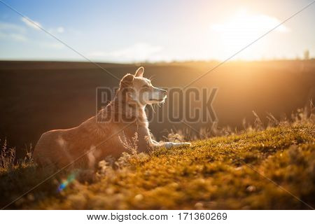 a small red-white dog sitting on a green field, green grass. Spring season. Country side. Animal portrait. Background of the sunset.