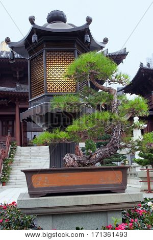 Bonsai tree in the courtyard of a Buddhist monastery