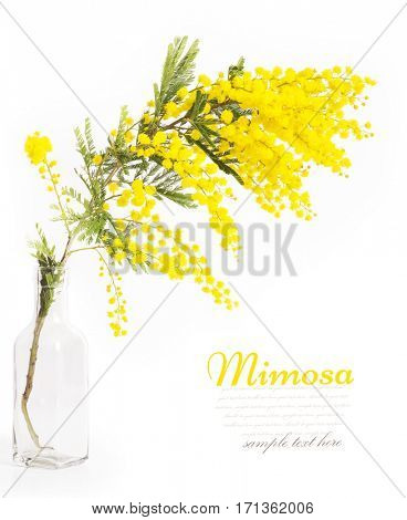 Branches of mimosa in a vase
