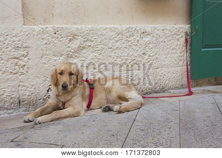 Dog lying on the ground tied with a red rope. Concept for the protection of animals