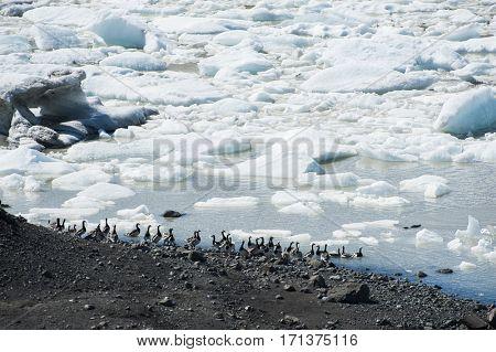 Beautiful photo of birds swimming in Fjallsarlon Glacial lake full of floating icebergs near the Fjallsjokull glacier