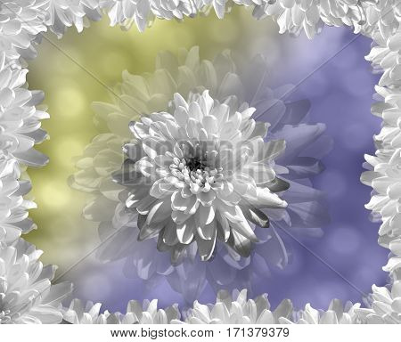 flower on blurry blue-yellow background bokeh. white flowers chrysanthemum. floral collage. Flower composition. Nature.