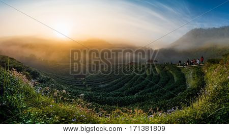 Landscape of Tea Field with fog in morning at Chiangmai Thailand on sunrise. Green tea farm with blue sky background. Tea farm. Green tea leaf. Tea farm plantation on hill. Lonely tree on tea farm plantation. Ceylon tea plantation.
