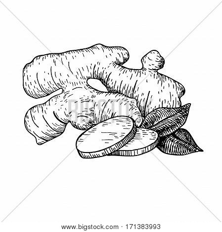 Ginger root vector hand drawn illustration.  Root and sliced pieces . Engraved style flavor. Herbal spice. Detox food ingredient.