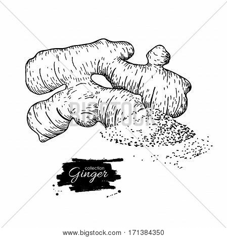 Ginger root vector hand drawn illustration.  Root and powder heap . Engraved style flavor. Herbal spice. Detox food ingredient.