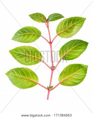 Green And Red Twig Of Fuchsia With Leaves Is Isolated On White Background, Close Up