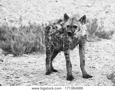 Hyena in african grassland of Etosha National Park, Namibia, Africa. Black and white image.