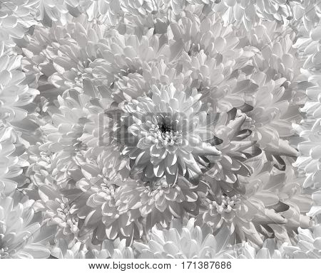 flower on gray-white background petals chrysanthemum. white flowers chrysanthemum. floral collage. Flower composition. Nature.
