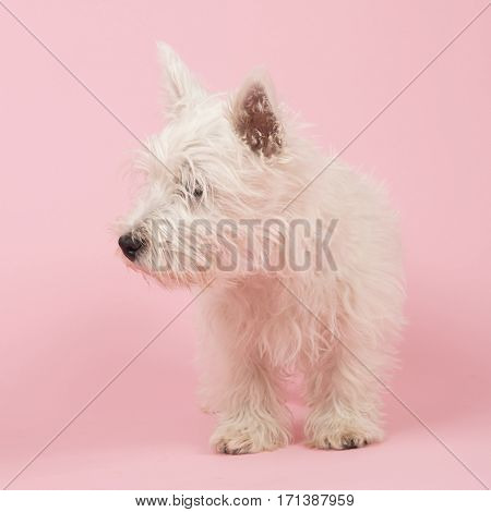 West Highland White Terrier or Westie or Westy
