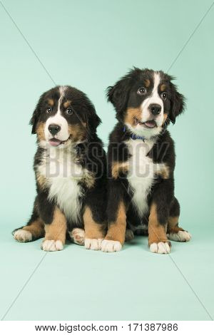 Cute little Bernese Mountain Dog puppies on green background