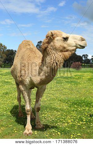 Camel In Field