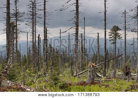 Demolished and dead trees - Beskidy Poland