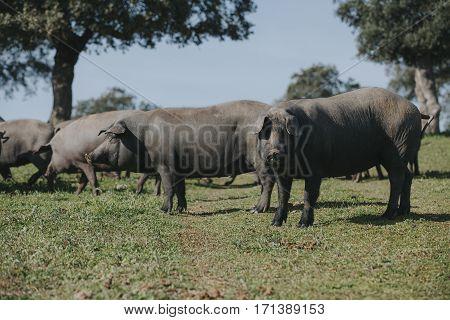Iberian pigs herd in a spanish meadow.
