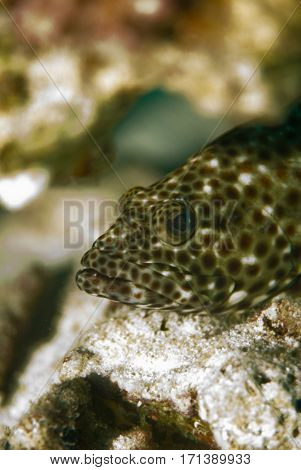 Portrait Of A Brownspotted Grouper, Shallow Depth Of Field.